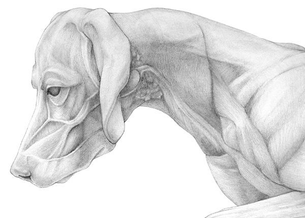 The Muscle Anatomy Of A Dog And His Skeleton Which I Had To