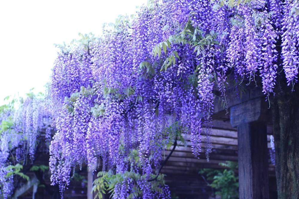 Glicynia Wisteria Formosa Domino Ogrod Na Niebiesko Najpiekniejsze Kwiaty I Rosliny Ozdobne Plants Garden