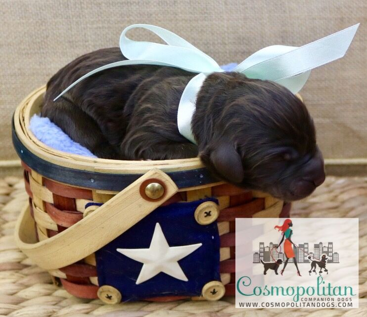Newborn Chocolate Goldendoodle Puppy Www Cosmopolitandogs Com Www