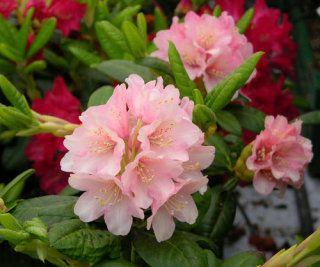 Kelta-alppiruusu 'Vieno' - Rhododendron wardii