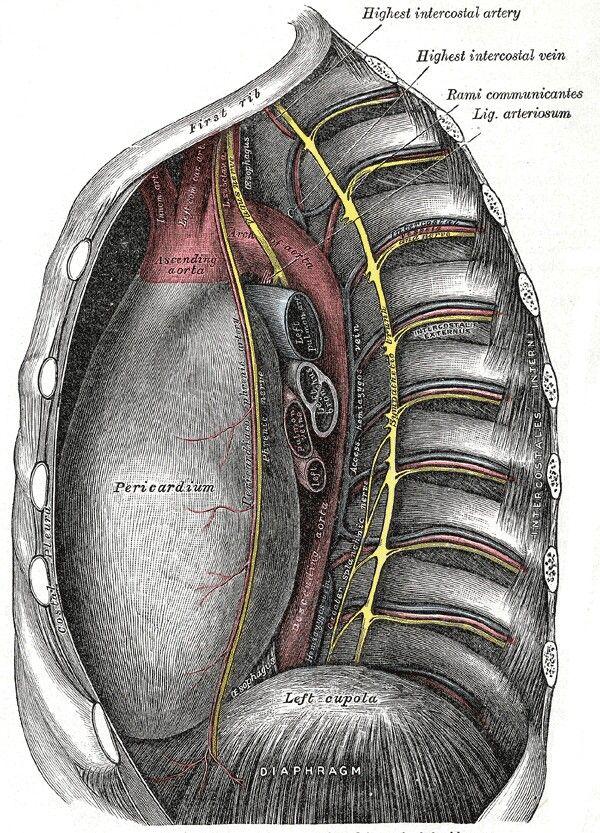Thoracic cavity anatomy   Human Viscera Anatomy   Pinterest ...