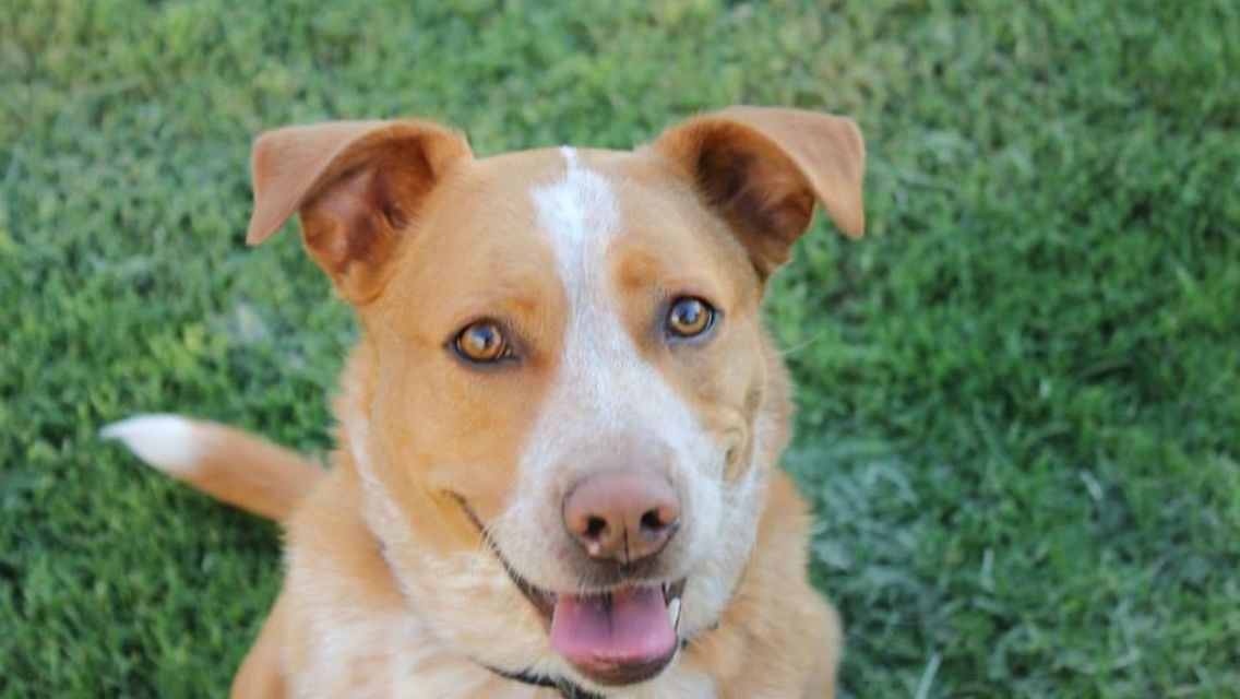 gorgeous mutt red heeler lab mix barney the