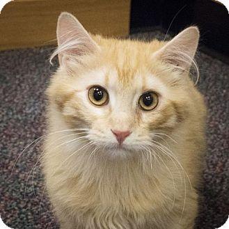St. Paul, MN - Domestic Mediumhair. Meet Buster and Keaton, a kitten for adoption. http://www.adoptapet.com/pet/12799190-st-paul-minnesota-kitten