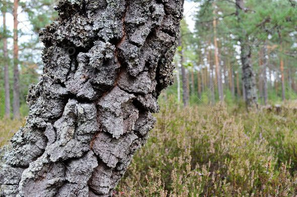 Realistic Graphic DOWNLOAD (.ai, .psd) :: http://hardcast.de/pinterest-itmid-1006676819i.html ... tree trunk with moss on the forest background ...  background, bark, close-up, copyspace, finland, forest, landscape, moss, nature, nobody, north, summer, tree, trunk, wood, wooden  ... Realistic Photo Graphic Print Obejct Business Web Elements Illustration Design Templates ... DOWNLOAD :: http://hardcast.de/pinterest-itmid-1006676819i.html