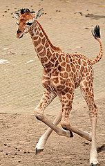 rotschildgiraffe Sudi Ouwehands IMG_0494 makes me so sad to see this baby, will he make it to adulthood?!!