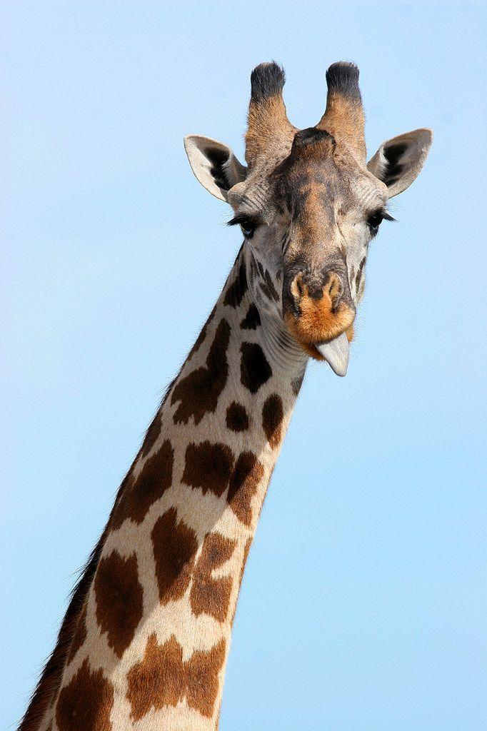 how is this giraffe giraffe images giraffe