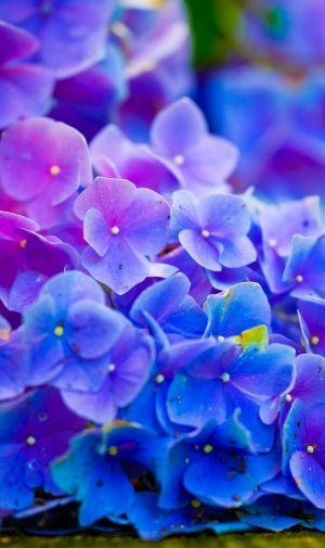 綺麗な紫陽花のiphone壁紙 壁紙キングダム スマホ版 桜の壁紙 Iphone壁紙 壁紙 Android