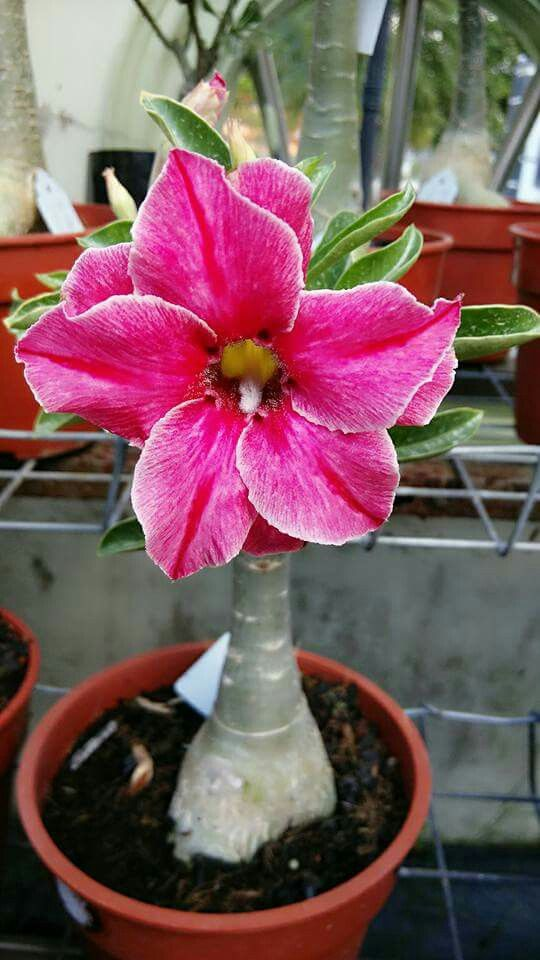 "Succulent - Desert Rose.   (""✿⊱❥ Rosa do deserto."")     From Chrome research:  ""Looking for a dramatic low-water succulent plant? Try desert rose! This sun-loving plant is perfect for you if you don't want to water a lot."""