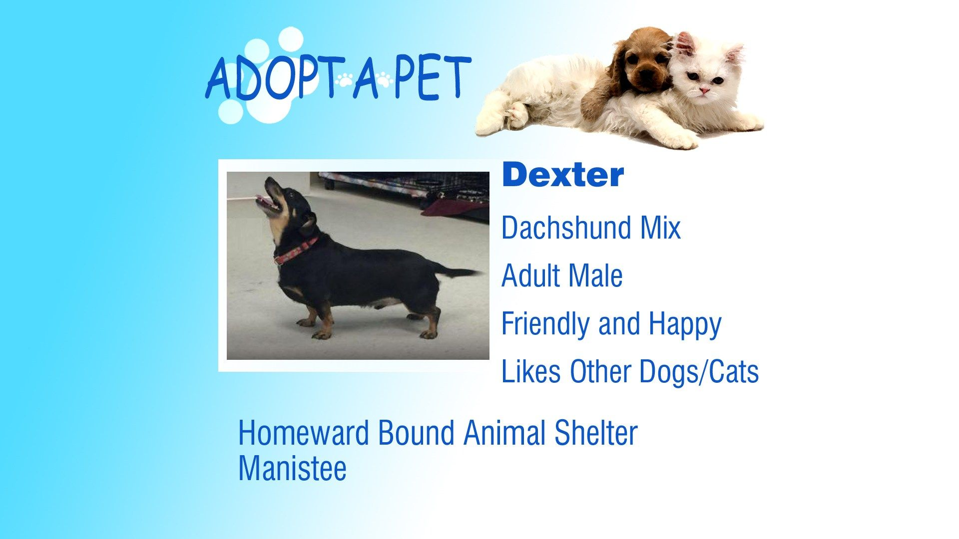 Adopt A Pet Sully Dexter And Blue Pets Adoption Dachshund Mix