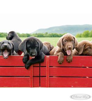 Hundewelpen Auf Rotem Wagen Poster Poster Poster Welpen Hundewelpen Und Hunde Welpen