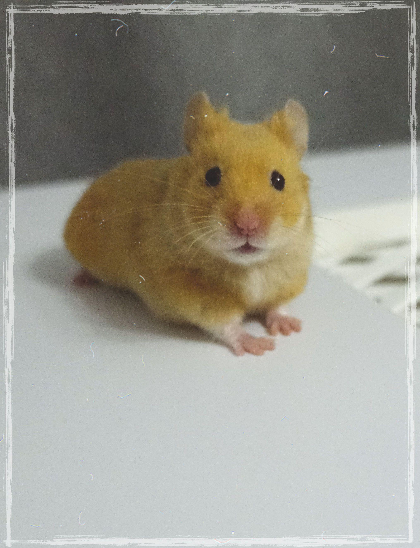 Tiny Hamster Funny Hamsters Cute Hamsters Cute Animals