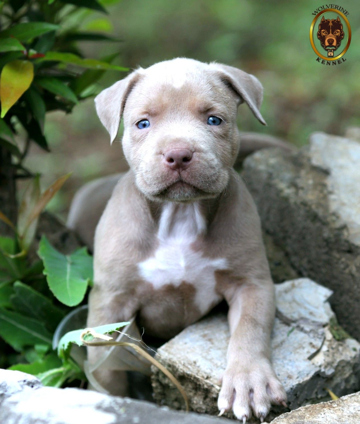 Pin Oleh Wolverine Kennel Di Champagne Pitbull Puppies
