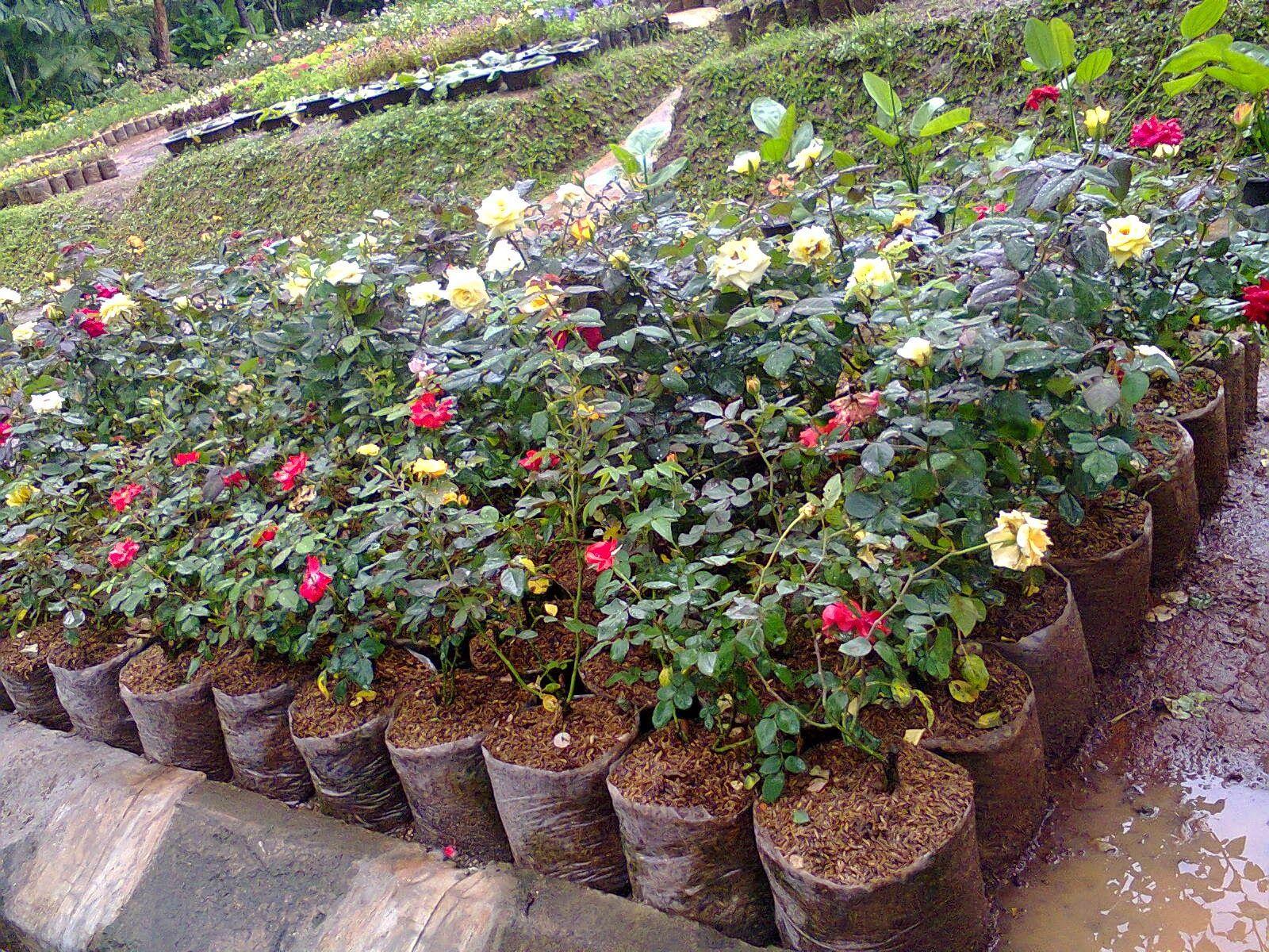 Tanaman Bunga Mawar Tanaman Bunga Menanam Bunga