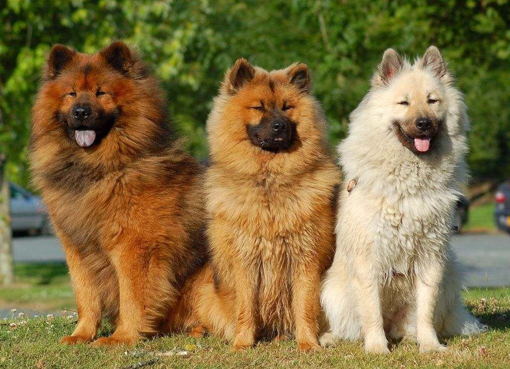 centrale canine eurasier