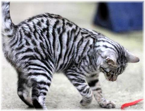 This Tiger Looking Toyger Pet Cat Type Was Established By The Cross Between A Common Bengal Tabby As Well As A Striped Domestic Shor Toyger Cat Cat Breeds Cats