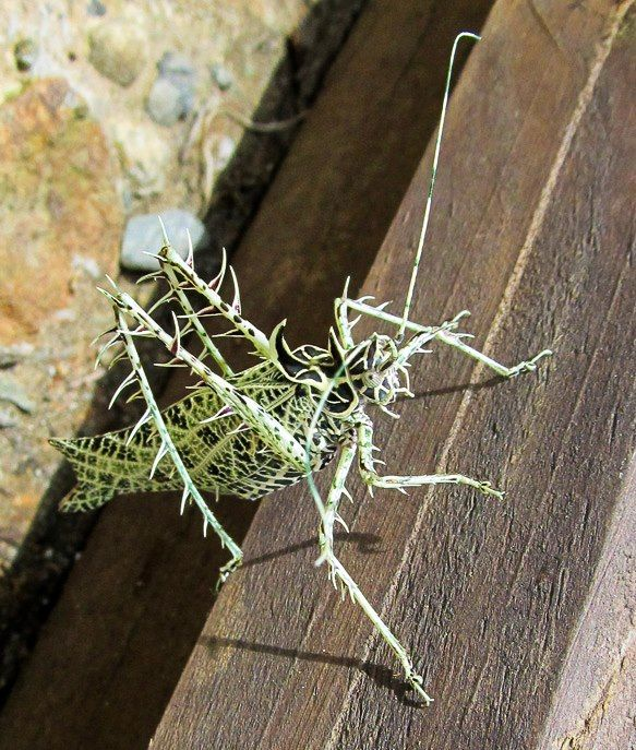 Lichen katydid (Markia Hystrix) spotted by LuzPiedadCurran-Gärtner. Amazing, beautiful insect!