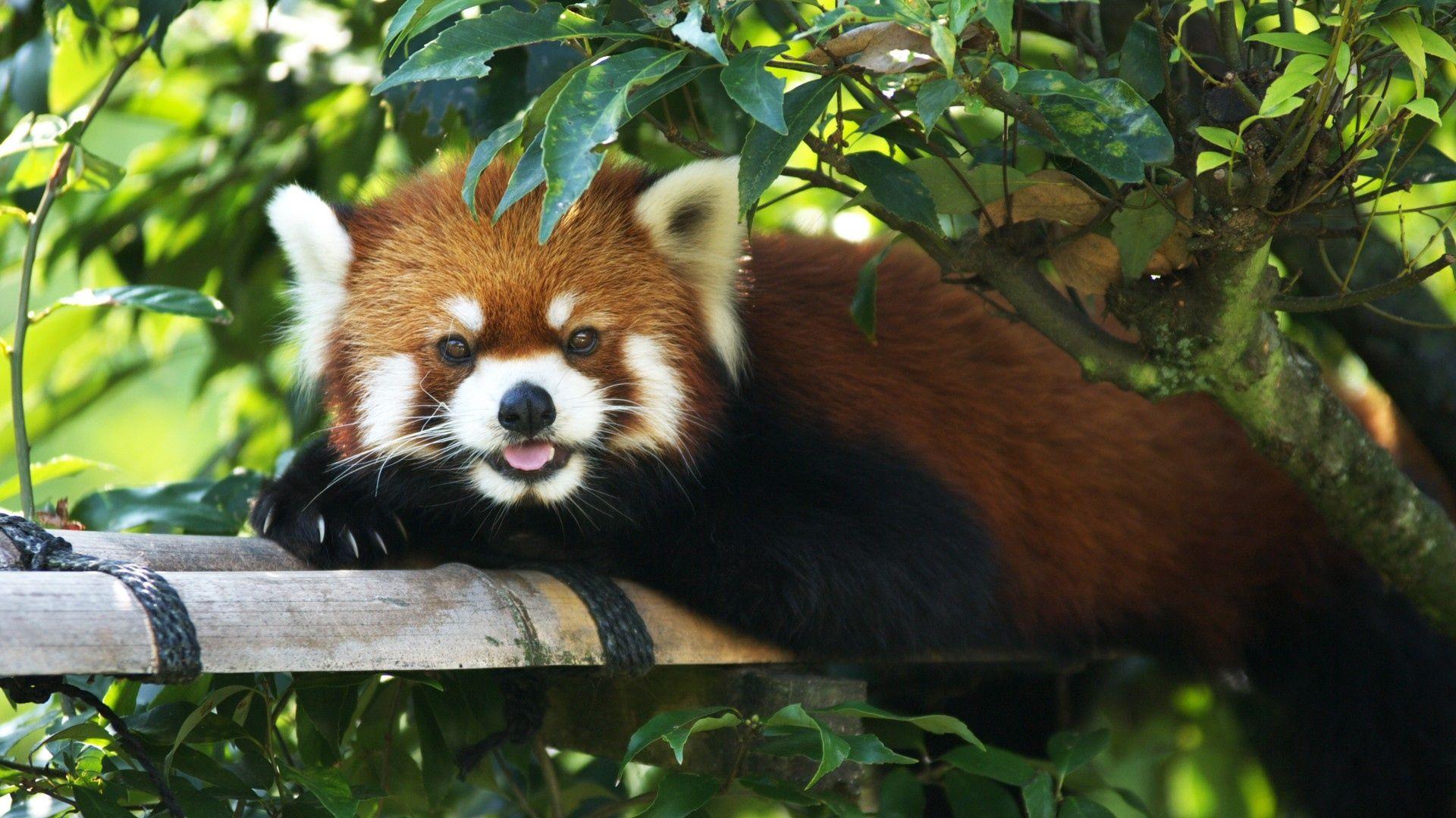 Download Wallpaper 1920x1080 Red Panda Lie Down Tree Branch Full Hd 1080p Hd Background Red Panda Panda Wallpapers Red Panda Images