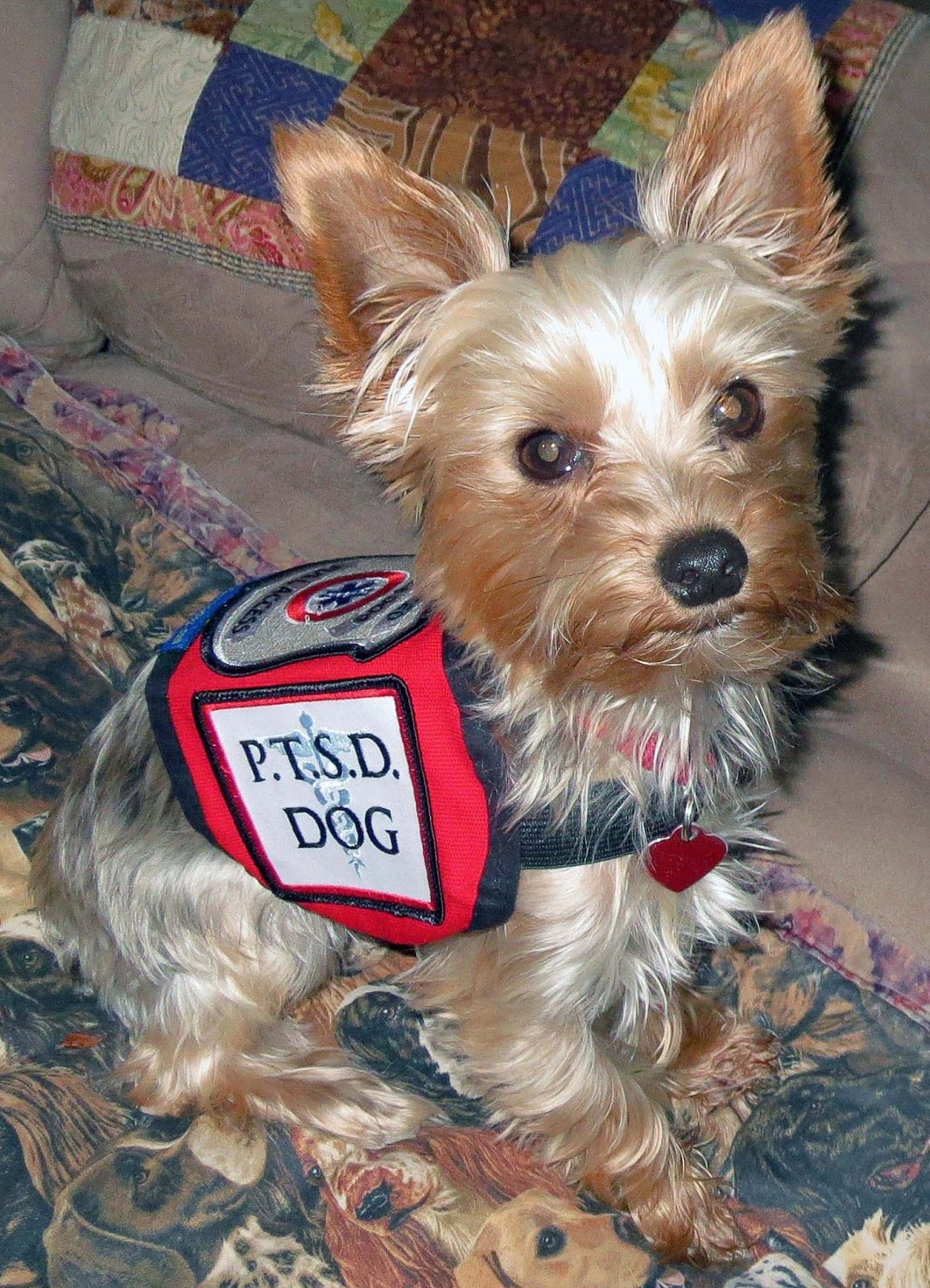 Yorkies As Service Dogs Google Search Tiny Service Dogs