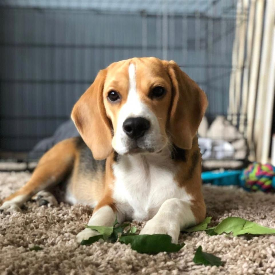More About The Curious Beagle Puppies Beaglemix Beagleproblems