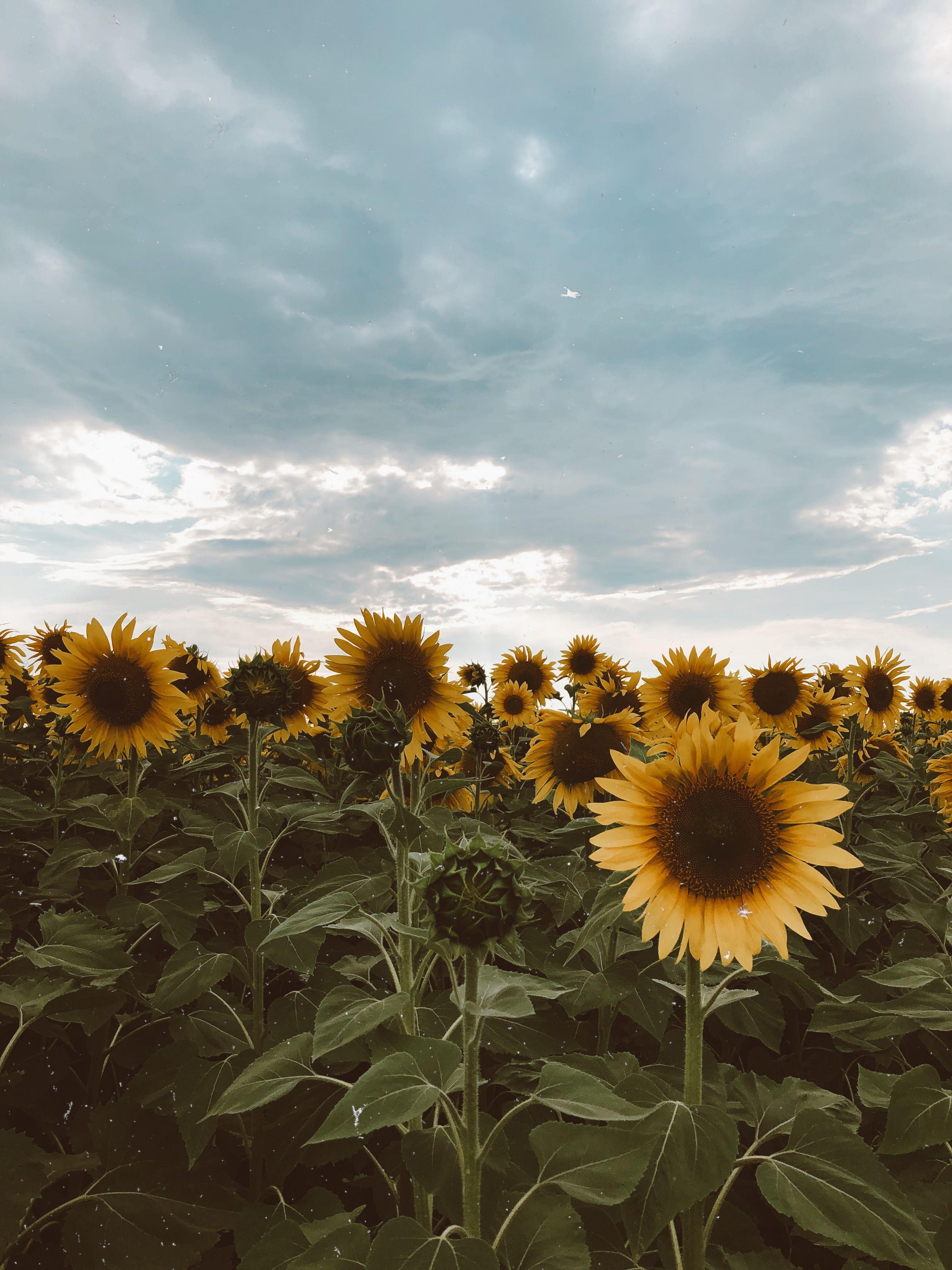 Sunflower Wallpaper Sunflower Wallpaper Dark Wallpaper Wallpaper