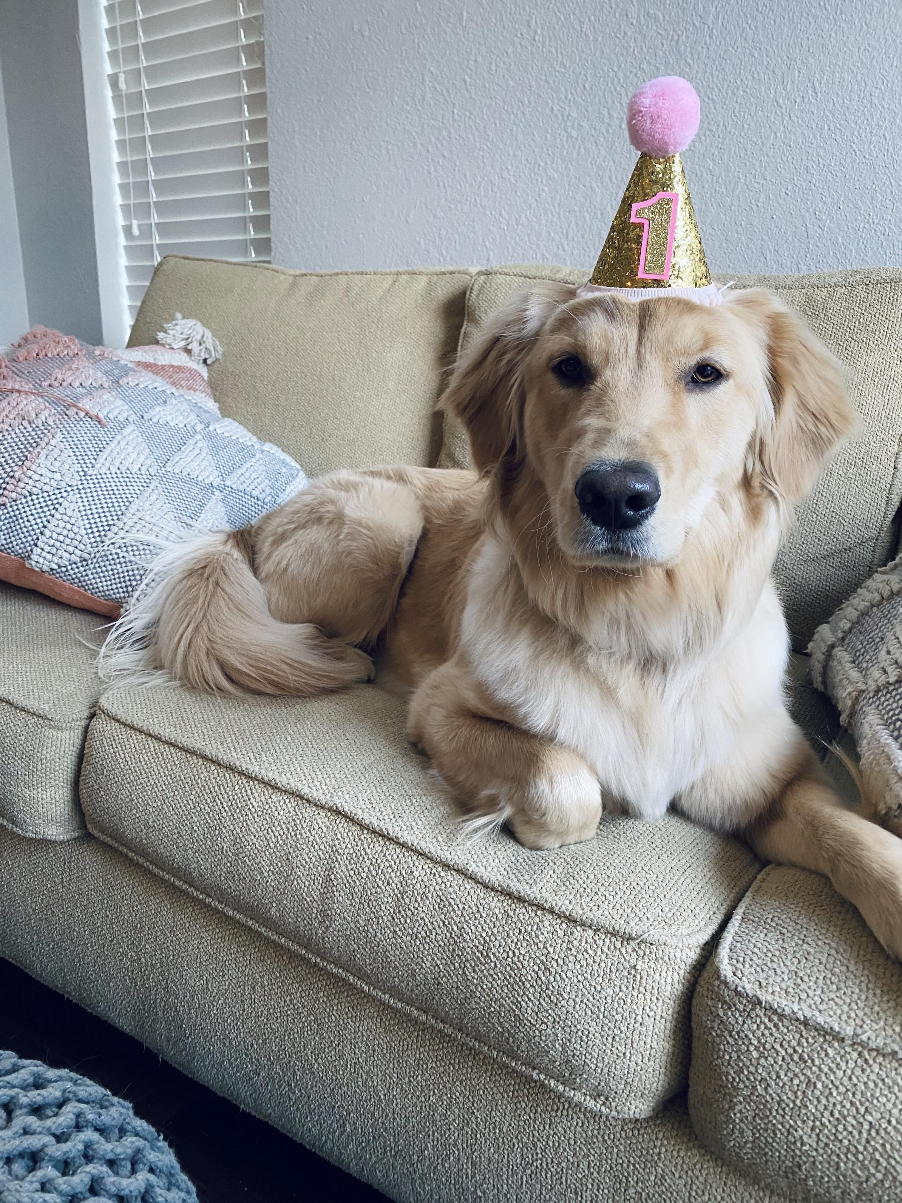 Stella Is One Year Old Today In 2020 Golden Retriever Birthday Golden Retriever Dogs Golden Retriever