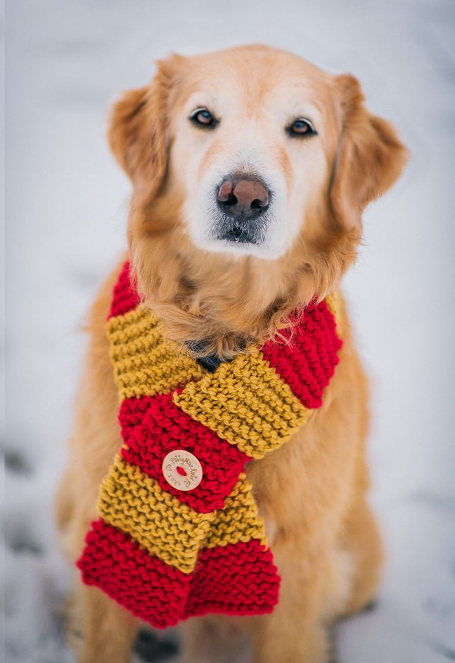 My Golden Retriever, Willie, showing off my new Dog Scarf Knits