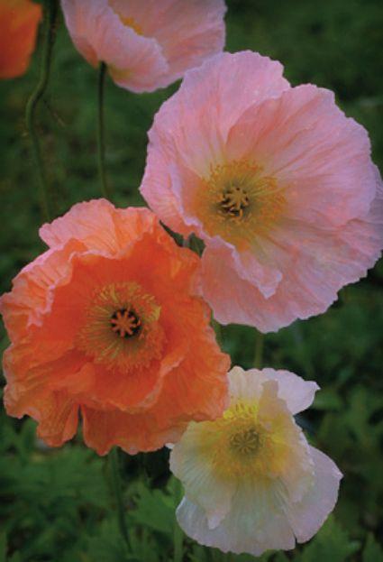Pretty Peach Poppies