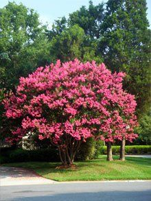 Image result for crape myrtle pink velour