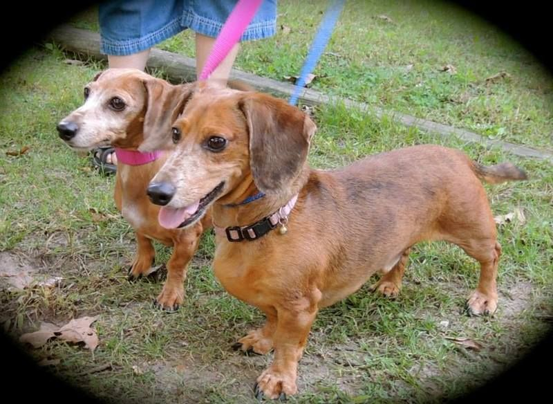 Adopt Snoopy Buster On Dachshund Adoption Dachshund Rescue Dogs