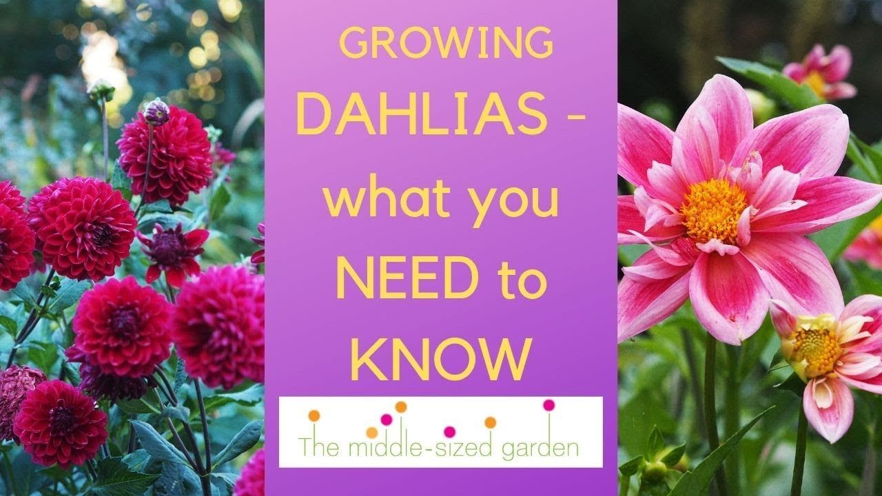 Growing Dahlias Everything You Need To Know About How To Choose And Grow Dahlias Youtube Growing Dahlias Dahlia Plants For Small Gardens