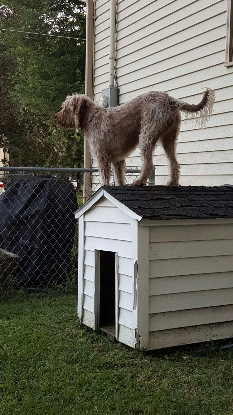 George, my German Wired haired Griffon, thinks he\'s a goat.   George ...