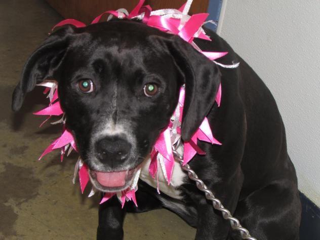 Adopt Beauty on Black labrador retriever, Female boxers