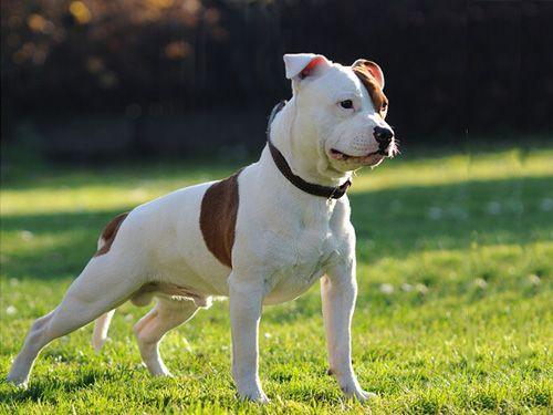 Staffordshire Bull Terrier Bully Breeds Dogs Staffordshire Bull Terrier Bull Terrier