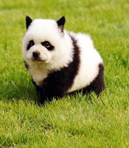 In Southeast Asia, Dogs Go Incognito ...