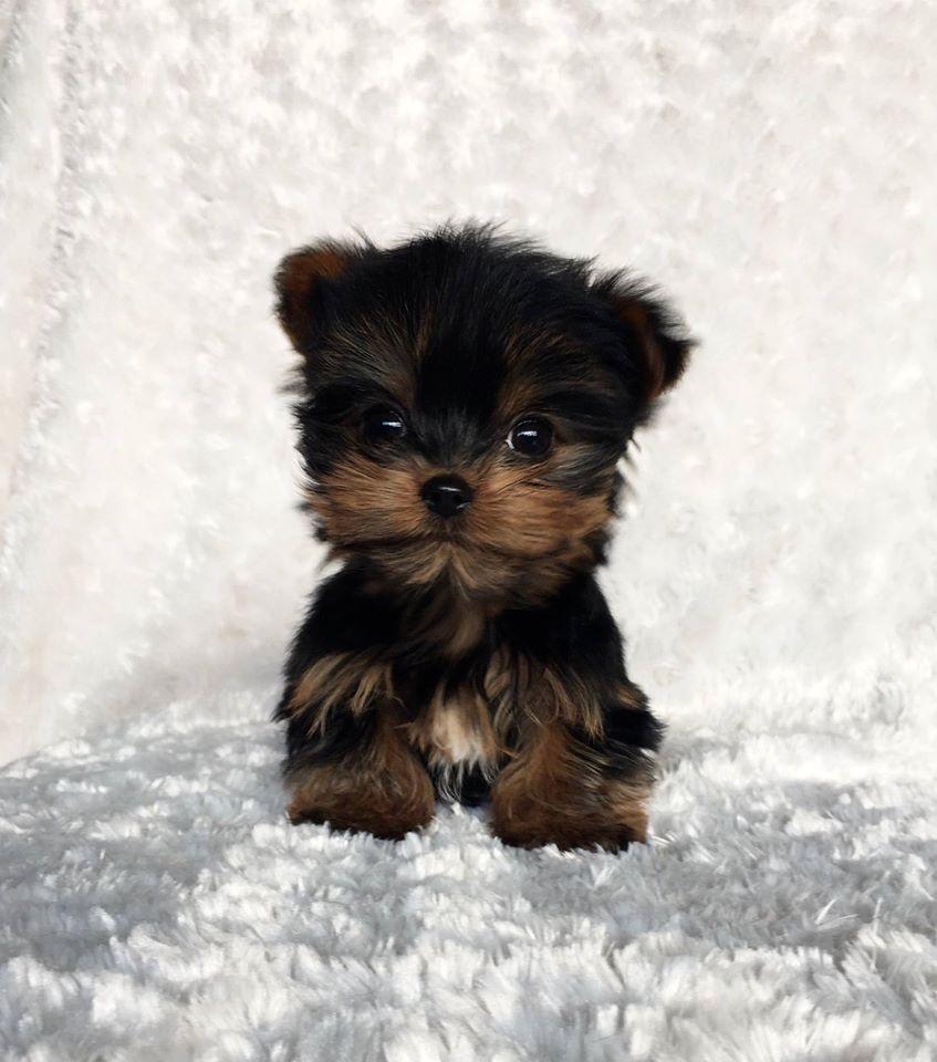 Pin By Liz Chalfant On Dog Dog Dog Teacup Puppies Maltese Yorkie Teacup Yorkie