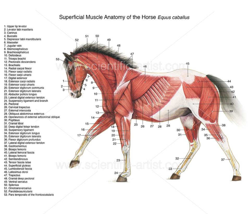 Muscle anatomy of the horse | Joanna Culley | Pinterest | Muscle ...