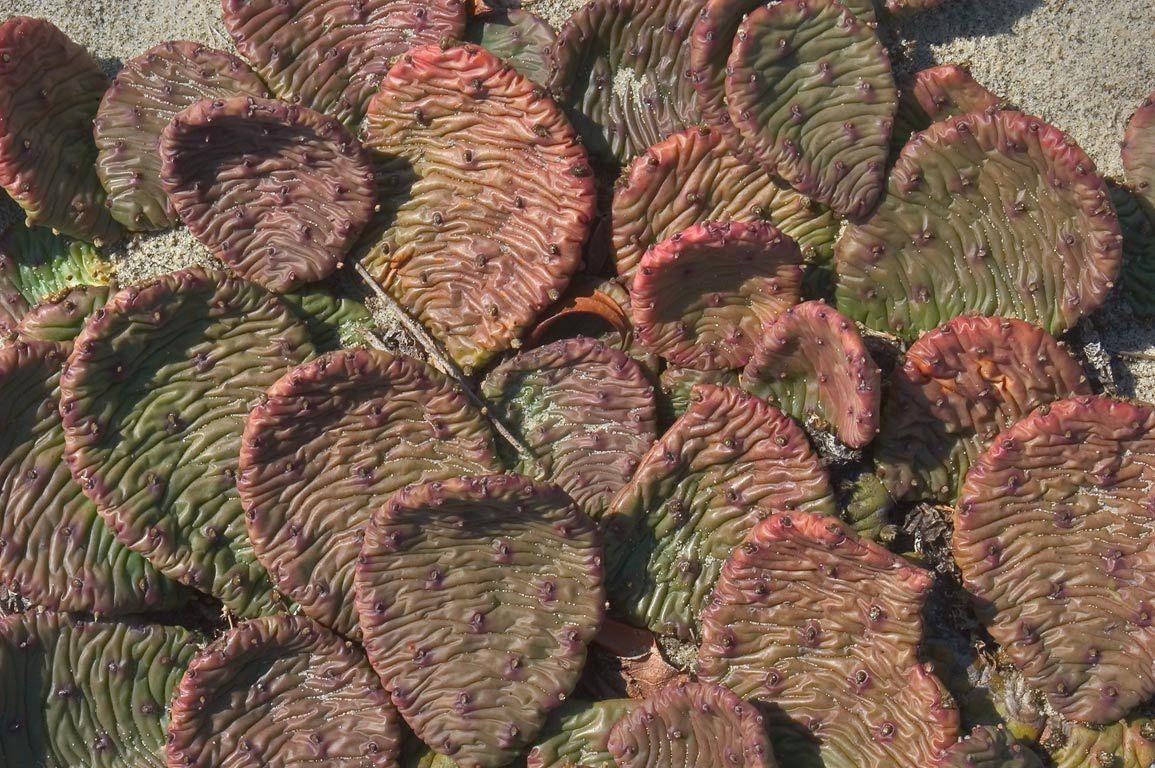 prickly pears cactus on Sandy Hook