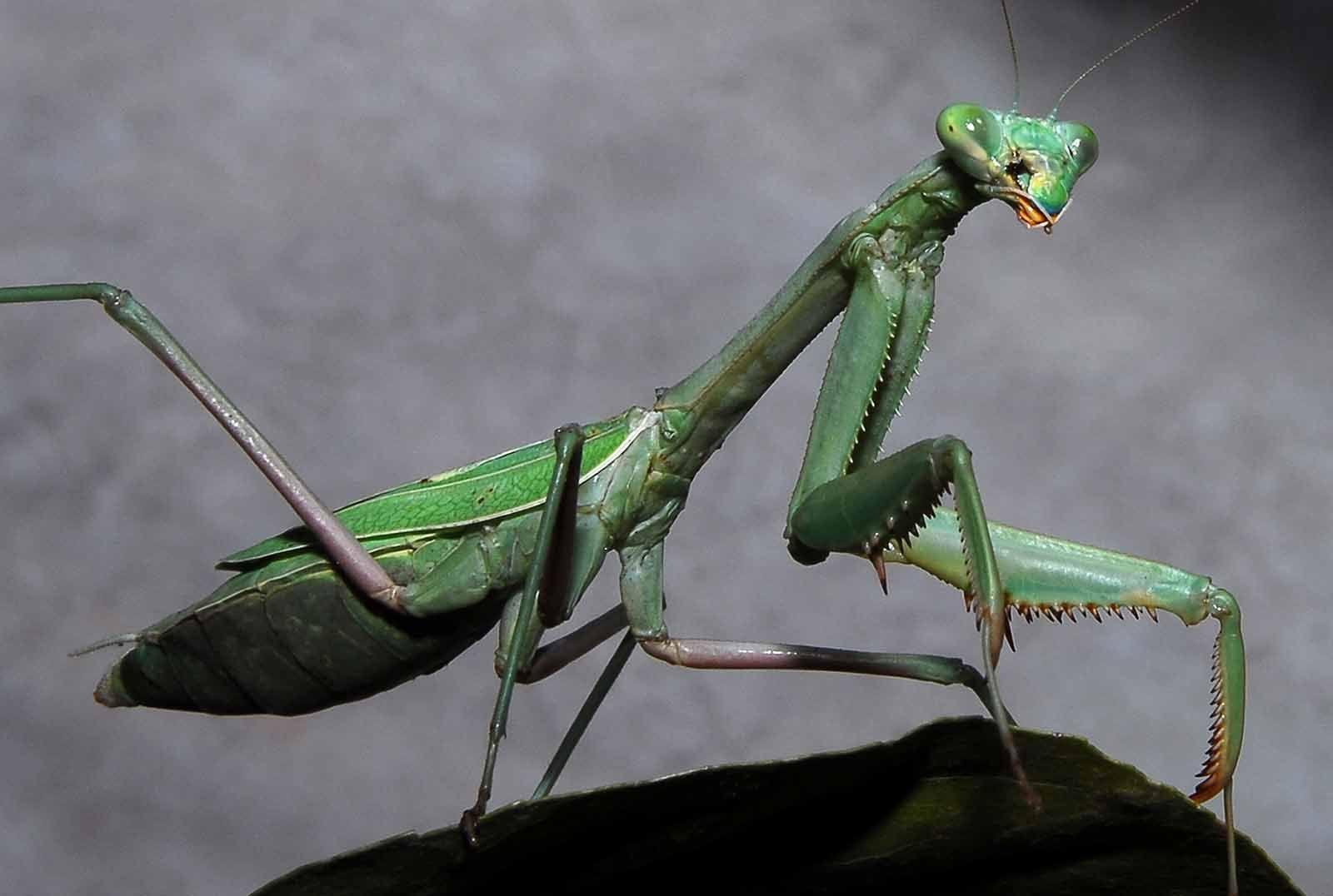 Praying Mantis Pictures Hd Photo Gallary Free Wallpaper