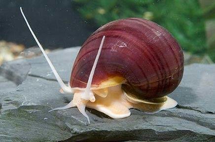 Fresh Water Snail Snail Aquarium Snails Apple Snail