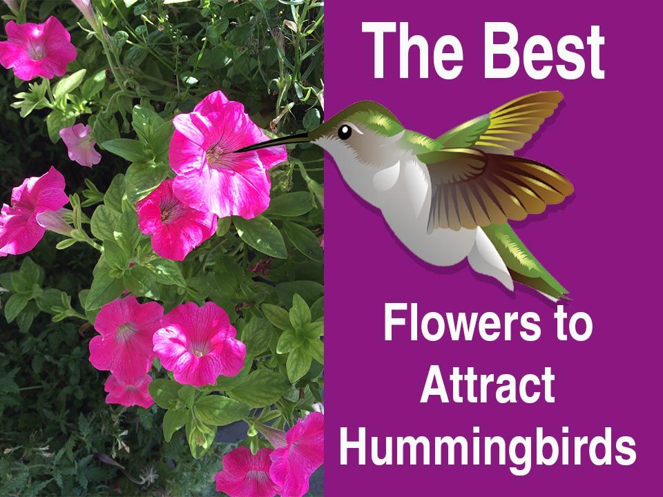 The best flowers to attract hummingbirds hummingbird perennials favorite perennials annuals and vines that are popular with hummingbirds and will encourage the birds mightylinksfo