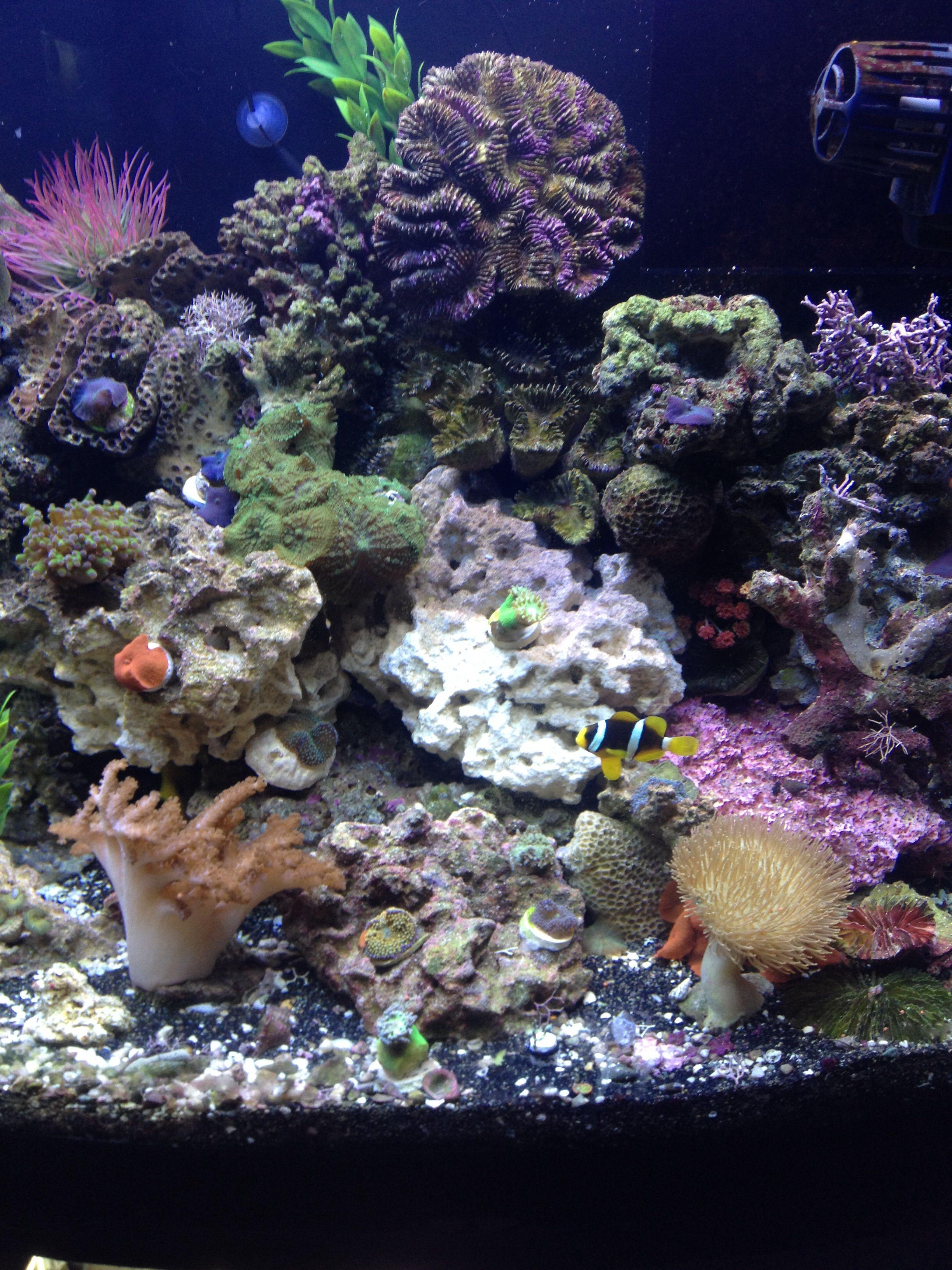 Salt water aquarium My Saltwater Aquarium Pinterest