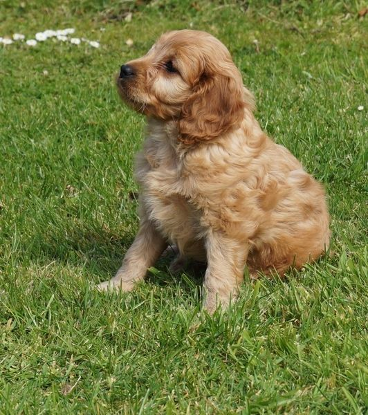 Cocker spaniel puppies for sale FOR SALE ADOPTION from