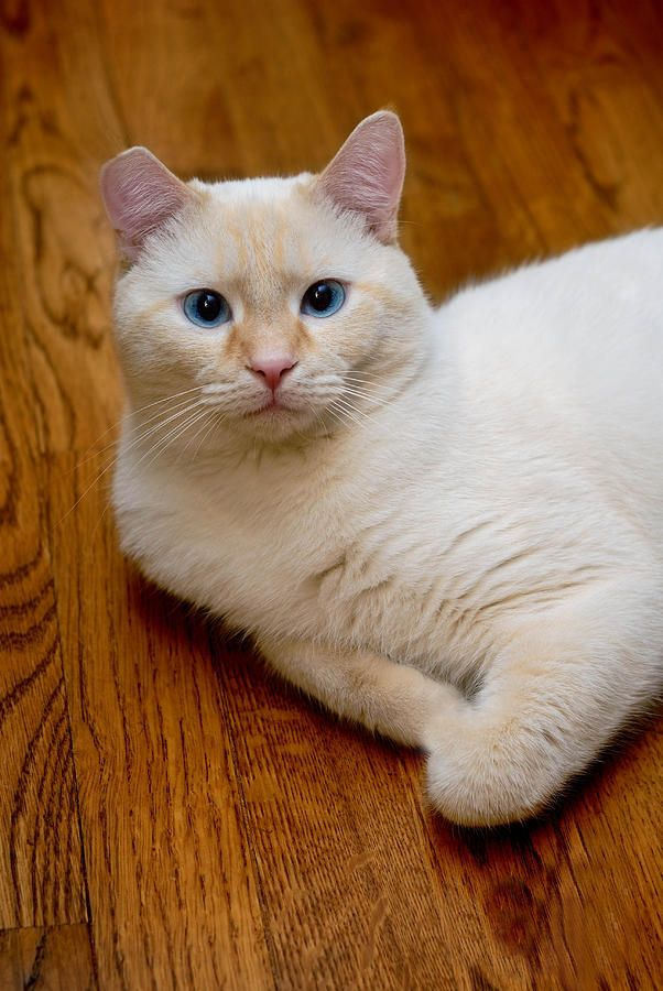 Flamepoint Siamese Little Dude Pretty Cats Cats Kittens