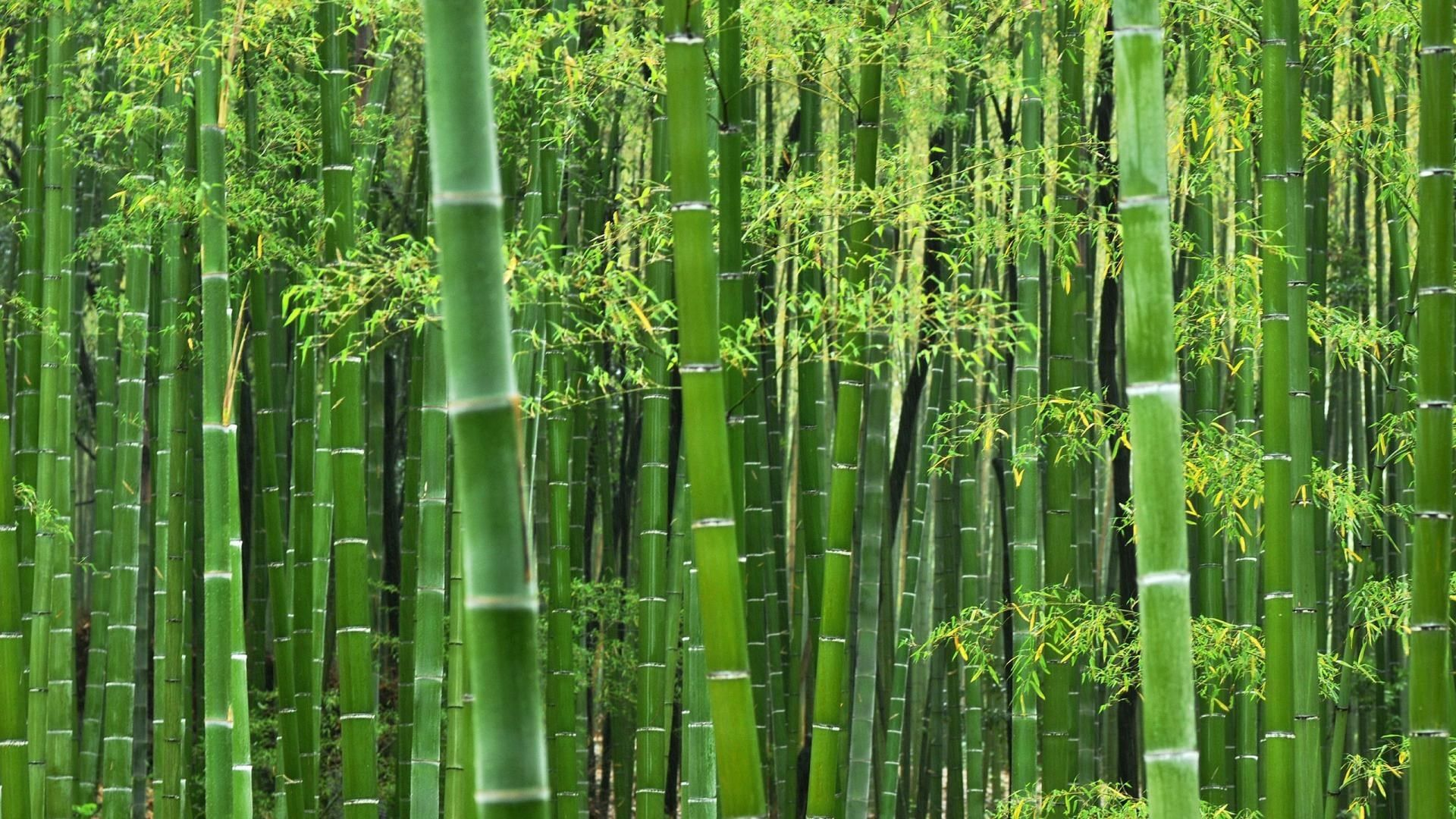 Free Hd Bamboo Wallpapers Download Bamboo Wallpaper How