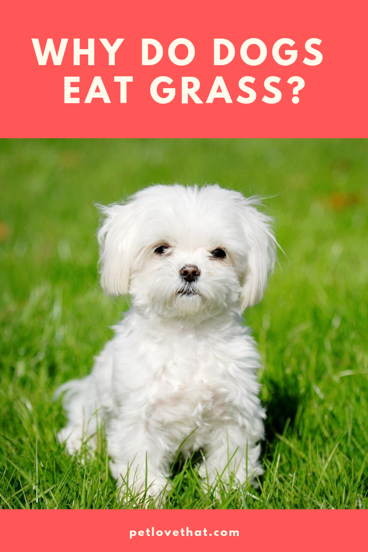 Introduction Dogs Are Known As Carnivores Carnivores Eat Meat However Dogs Eat Grass At Times Many Dog Owners Always Wond Dogs Dog Eating Dogs Eating Grass