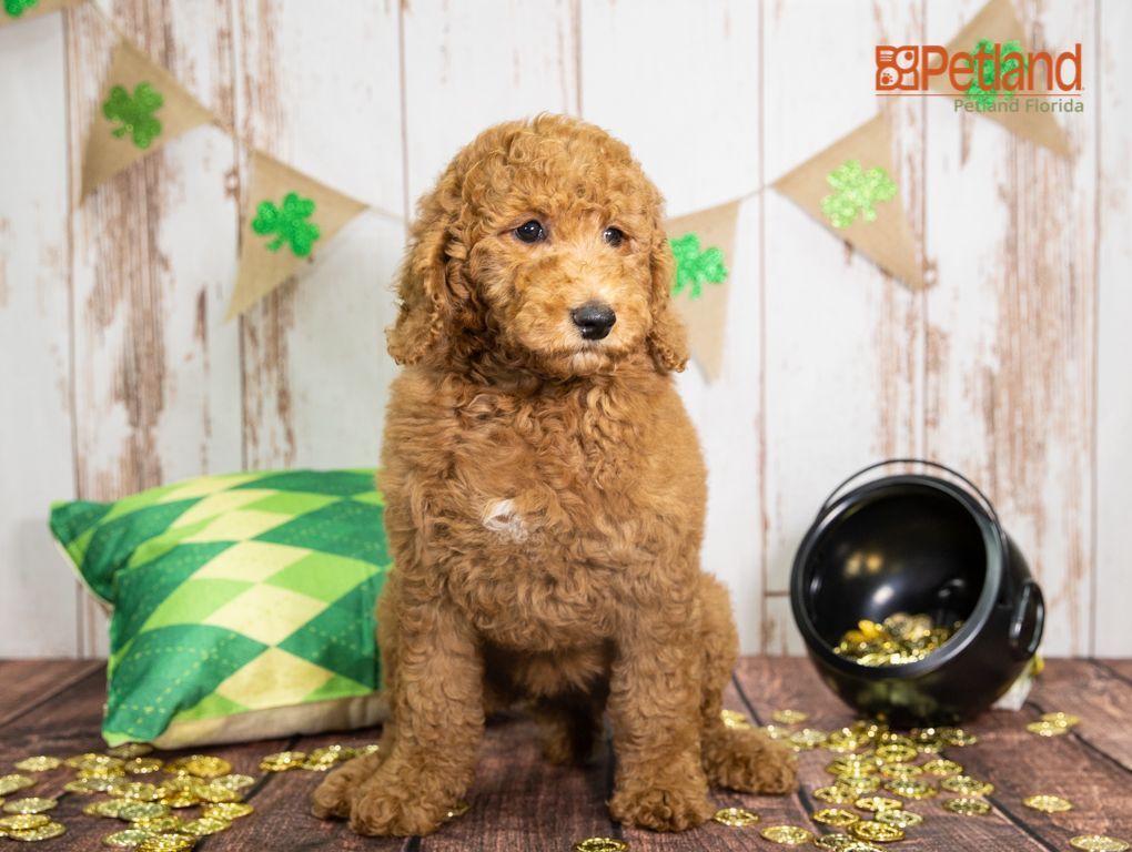 Puppies For Sale Poodle Puppies For Sale Puppies Puppies For Sale
