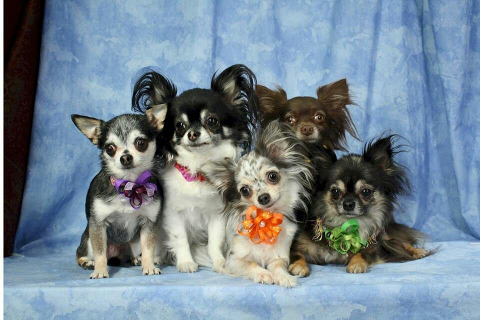 Pin By Claudia Stuart On Chihuahuas With Images Cute Chihuahua