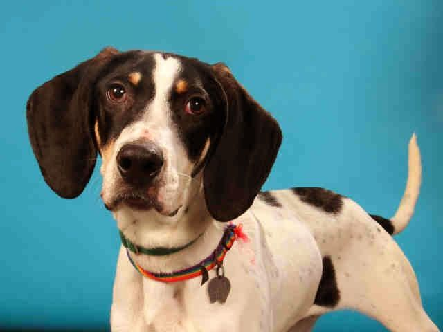 Elvis a Bluetick Coonhound Dog adoptable from Humane