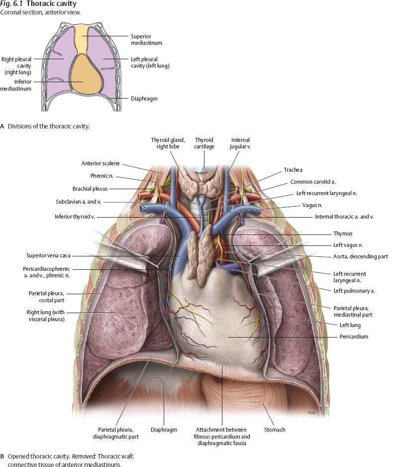 Thoracic cavity anatomical diagram - www.anatomynote.com | Anatomy ...