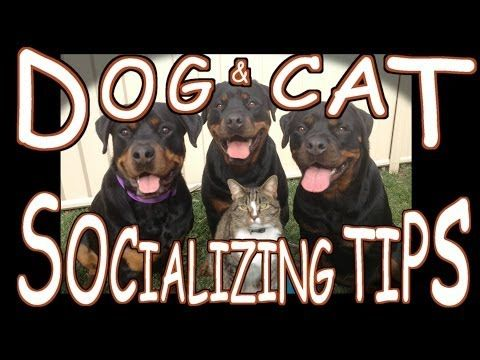 Dog Cat Socializing Tips Http Www Kittytalent Com 2014 12 Dog Cat Socializing Tips Dog Cat Dogs Kitten Pictures